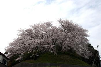 八幡山の桜2