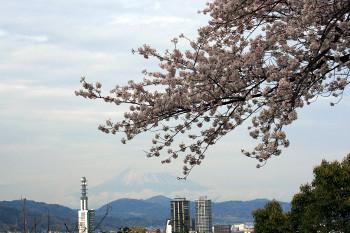 八幡山の桜4