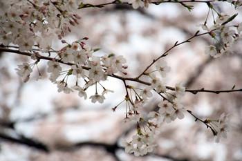 八幡山の桜5