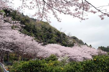 寺尾の桜2