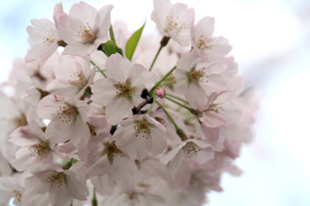 寺尾の桜7