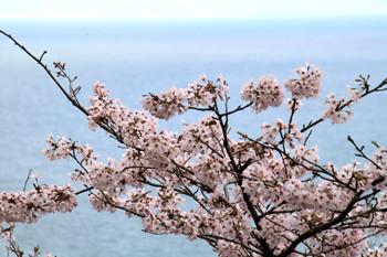 寺尾の桜5