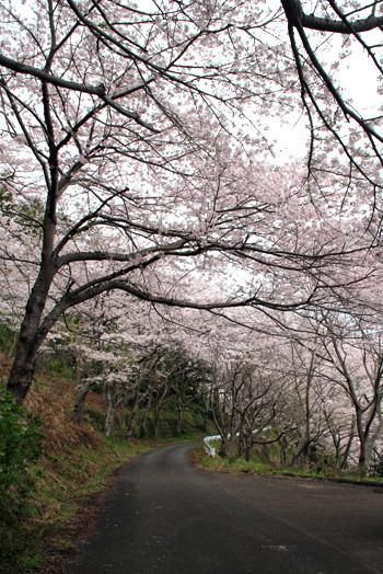 寺尾の桜3