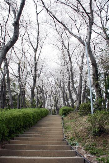 八幡山の桜3