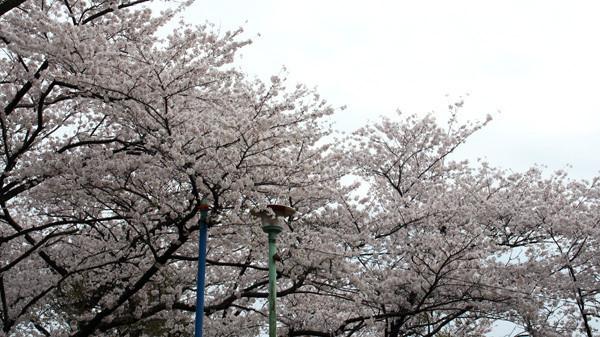八幡山の桜1