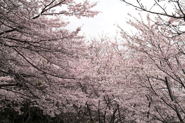 寺尾の桜1